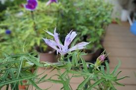青海松葉吹詰紫細切采咲牡丹 采咲牡丹の開花