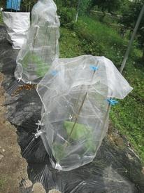 カボチャアズマエビス 2018年のカボチャ栽培