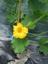 カボチャアズマエビス カボチャの雄花
