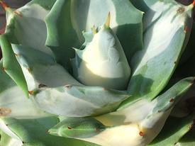 アガベ 王妃雷神 中斑 スパルタ栽培を猛省 m(_ _)mスマン ✨黄斑が出て来た  '18 6/22