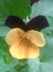 七夕に早まき ビオラももか ほおずきももか開花