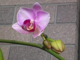 胡蝶蘭 'エリカ'開花