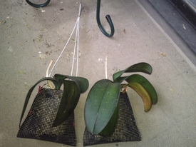 胡蝶蘭 吊り下げ金具、つけます