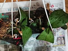 胡蝶蘭 成長してます