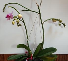 胡蝶蘭 エリカ、開花!