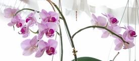 胡蝶蘭 エリカ、3本開花