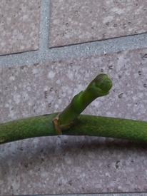 胡蝶蘭 なんと花茎が!