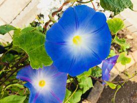 隣の朝顔は青い! まだまだ咲いています