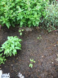 隣の朝顔は青い! 花壇に植えました