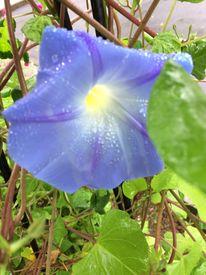 隣の朝顔は青い! 咲きました!