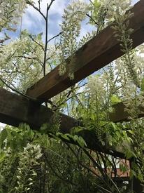 藤を種から育てています。 これが友人の藤棚です。