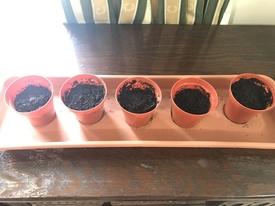 藤を種から育てています。 植えました
