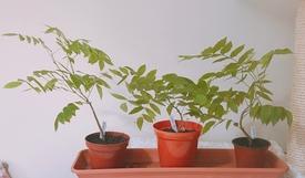 藤を種から育てています。 元気に育っています。