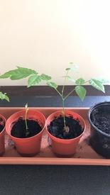藤を種から育てています。 2鉢を養子に出しました。