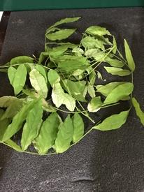 藤を種から育てています。 少し剪定しました。