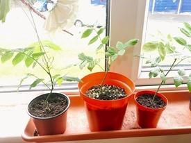 藤を種から育てています。 2017年5月15日