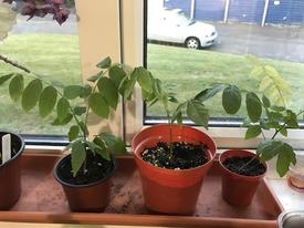 藤を種から育てています。 2017年5月10日