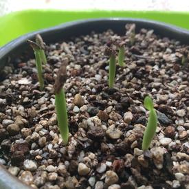 アデニウム🌱種から育てられるかな? ぐんぐん成長します
