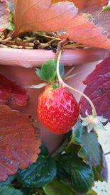 2017~2018イチゴ栽培 C1F209を2粒目を収穫