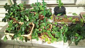 2017~2018イチゴ栽培 残っていたP1F2とP1F4植付け