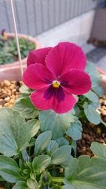 種まき第3弾、4弾 11月15日 よく咲くスミレチェリー開花