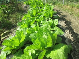 初の白菜栽培 ようやく白菜らしく成って