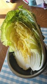 初の白菜栽培 収穫