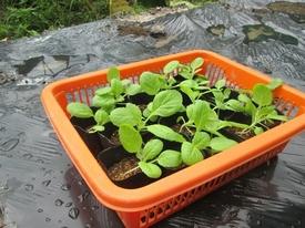 初の白菜栽培 徒長苗ですが本葉4枚