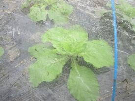 初の白菜栽培 10月17日追肥とアオムシの捕獲