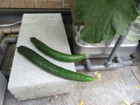 キュウリ 5月29日初めての収穫。