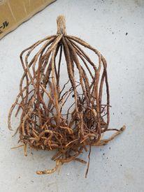 2年目のブルビネラ。今年は咲くかな? 10月5日 植え替え