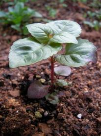 モナルダを咲かせよう 2017.11.02 地植えしました
