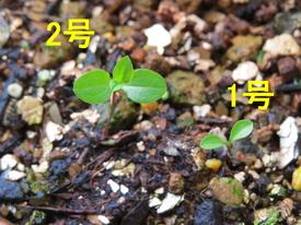 種から育てるチューリップ型のクレマチス 12月2日