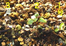 種から育てるチューリップ型のクレマチス 2018年2月17日 2カ月経過して