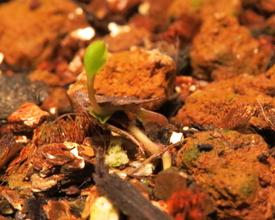 種から育てるチューリップ型のクレマチス 3月2日 3号の様子