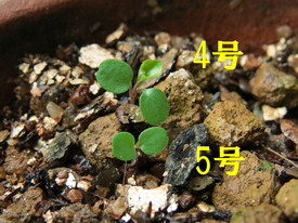 種から育てるチューリップ型のクレマチス 3月21日 お初の5号