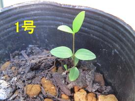 種から育てるチューリップ型のクレマチス 4月18日 1号