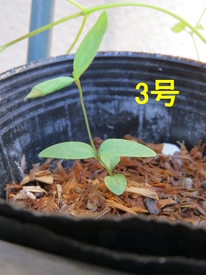種から育てるチューリップ型のクレマチス 4月18日 3号