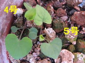 種から育てるチューリップ型のクレマチス 4月18日 4号・5号