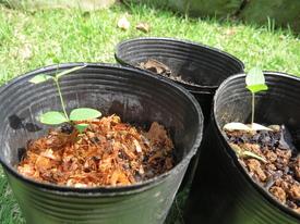 種から育てるチューリップ型のクレマチス 5月13日 右から1・2・3号