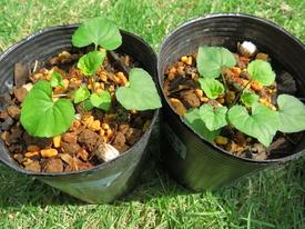 種から育てるチューリップ型のクレマチス 5月13日 右から4号 5号