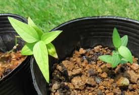 種から育てるチューリップ型のクレマチス 7月22日 1号と 3号