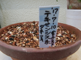 種から育てるチューリップ型のクレマチス 2017年7月10日