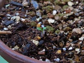 種から育てるチューリップ型のクレマチス 11月2日