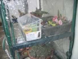 リトープス育っています サボテン栽培ミニビニール温室