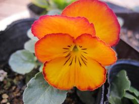 種まきから育てる 虹色スミレ 第三号開花しました メープル系