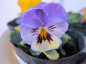 種まきから育てる 虹色スミレ 第四号開花しました ブルー系