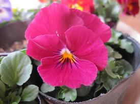 種まきから育てる 虹色スミレ 第五号開花しました ワインカラー