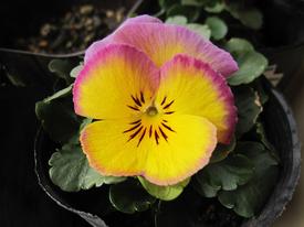 種まきから育てる 虹色スミレ 第六号開花しました エンゼルピンク