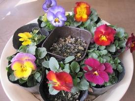種まきから育てる 虹色スミレ 7種類揃い咲き